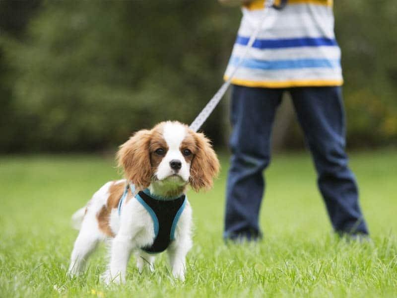 chien-tire-promenade